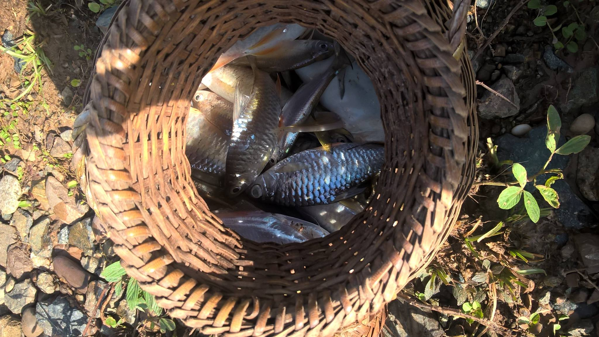 Catching fish is getting risk: A fisherman in Thadeua village spent almost three hours to get this amount of fish. Unlike in the past, they got more and spent less hours. Xayaburi province. September, 2015.